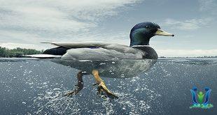 سندروم اردک چیست؟-دنیای روانشناسی